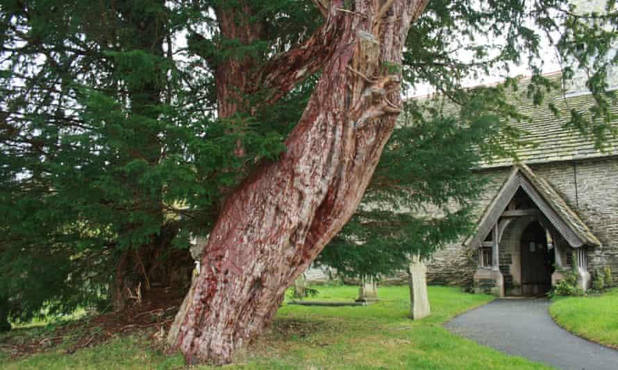 Nicholas Nethercott's yew.