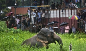 Onlookers watch a wild male elephant in north-eastern India