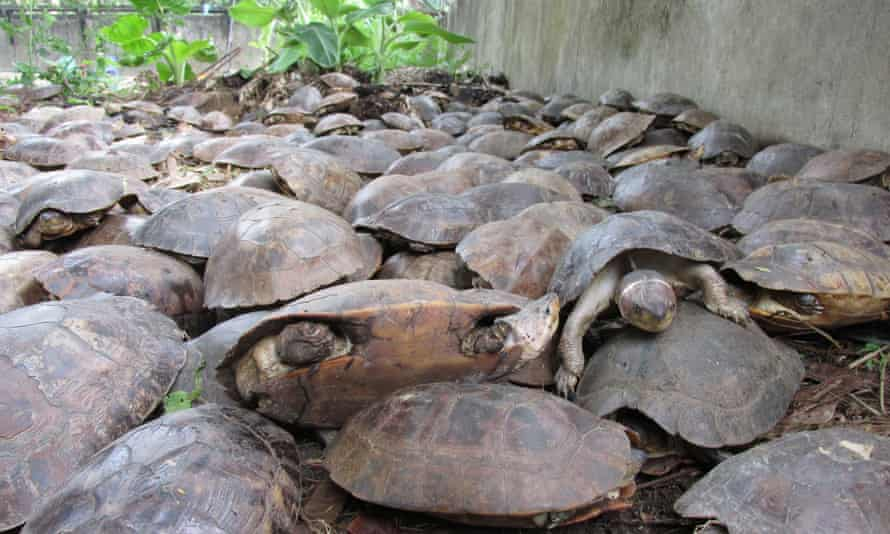 Some of the thousands of Palawan forest turtles after their rescue from captivity in Puerto Princesa, Palawan island.