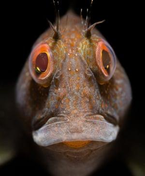 variable blenny with orange-rimmed eyes and orange spots