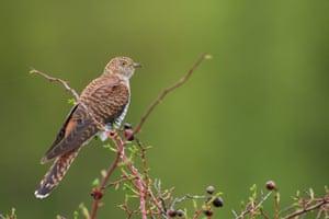 A female cuckoo.