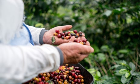 The end of coffee: could Australia save the world's beans?