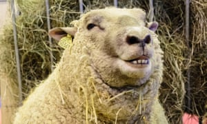 Winter is the season for ovine Casanovas as the onset of fertility in sheep linked to longer periods of melatonin production.