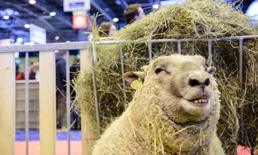 A sheep at the Paris international agricultural show