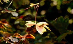 Autumn colours on field maple leaves