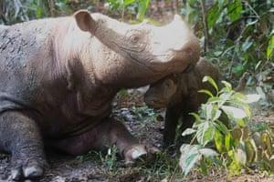 A Sumatran rhino named her calf at a sanctuary in Lampung, Sumatra.