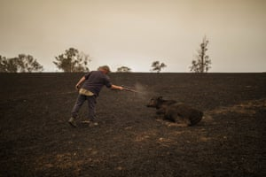 Steve Shipton shoots an injured calf in his paddock after a bushfire in Coolagolite.