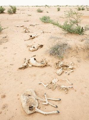 Dead animals near Kalawleh, Somaliland