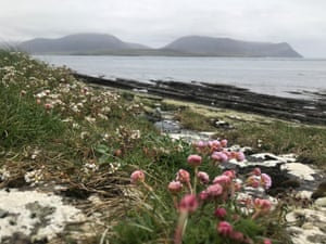 Sea pink, also known as sea thrift plant, thrift plant and common thrift (Armeria maritima) on Orkney.