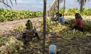 Siblings work in the tobacco fields in Santiago, Nayarit state, Mexico.