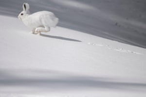 A snowshoe hare running across snow