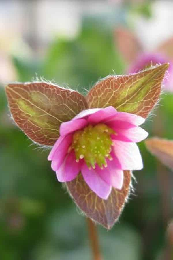 Hepatica acutiloba x nobilis 'Cremar'