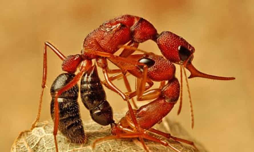 Indian jumping ants.