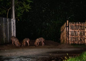 A group of the wild golden jackals (canis aureus) come out of the flooded dens at night following rain to eat termites under a roadside lamp post in Tehatta, West Bengal, India. The Golden jackal is the only species of Jackal in the Indian subcontinent