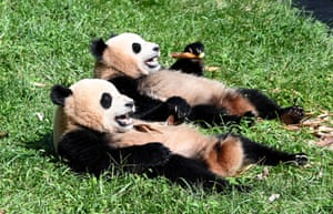 Aba, China. Giant pandas relax at the Shenshuping base at China Conservation and Research Centre for Giant Panda in the Wolong national nature reserve in Tibetan and Qiang autonomous prefecture