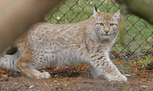 A lynx, similar to the one which escaped from its zoo enclosure at Dartmoor Zoological Park.