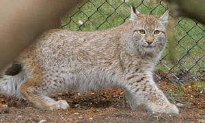 Aa lynx, similar to the one which escaped from its zoo enclosure at Dartmoor Zoological Park.