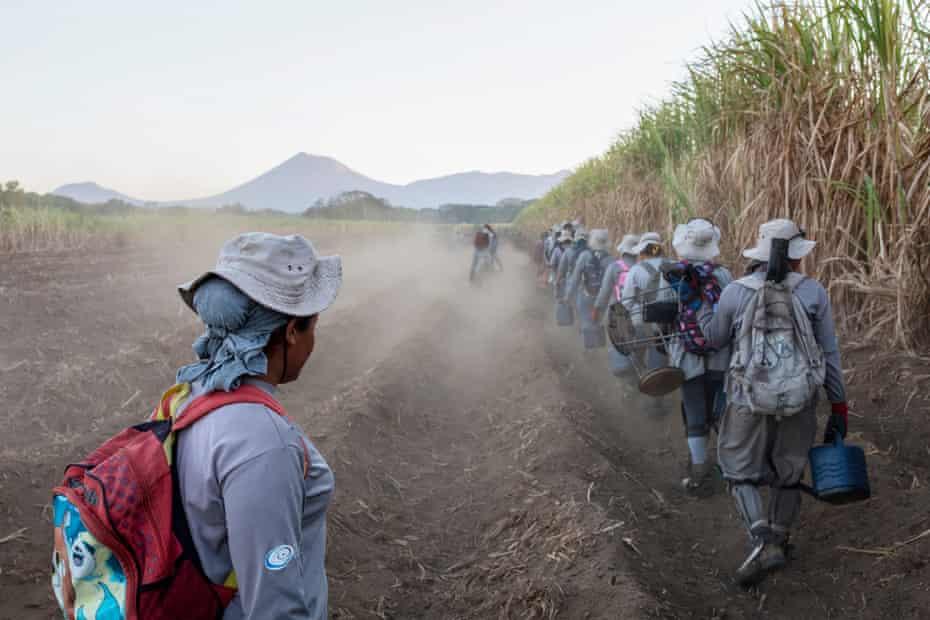 Sugar cane workers cutting cane
