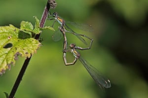 Mating willow emerald damselflies.