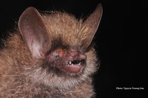 This bat, Murina kontumensis, found in the central highlands of Vietnam has thick and woolly fur on its head and forearms