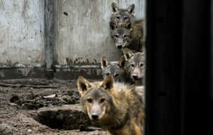 Five wolf cubs await treatment at a wildlife facility after being spotted on a mountain in Iğdır province, Turkey