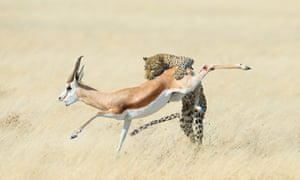 A springbok is attacked by a leopard in Namibia.