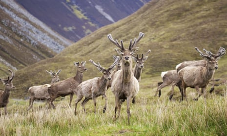 Red deer in Scottish Highland landscape