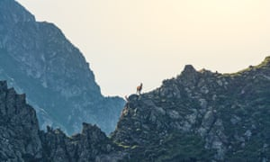 Chamois in the Carpathian Mountains.