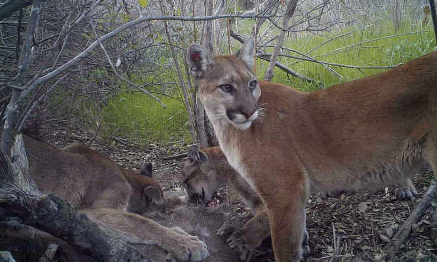 A mountain lion keeps watch while her juvenile cubs feed in California.