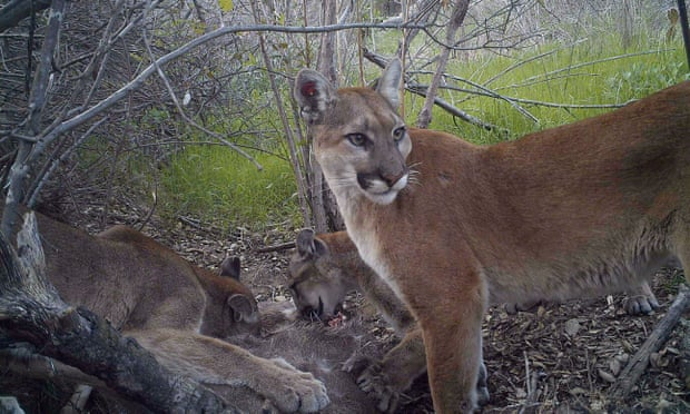 A mountain lion keeps watch while her juvenile cubs feed in California. Photograph: Reuters