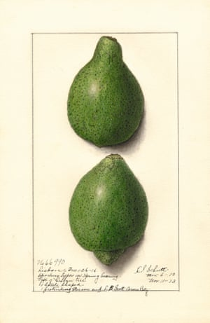 Watercolour of two limes from An Illustrated Catalogue of American Fruits and Nuts, published by Atelier Editions.