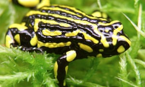 Australia's corroboree frogs and other species could face extinction without tougher protection laws, a Senate committee has warned.