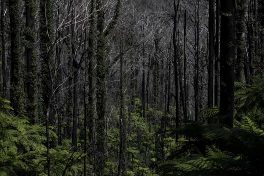 Kuark forest in Errinundra National Park, East Gippsland Victoria, fourteen months after the 2019/2020 fires
