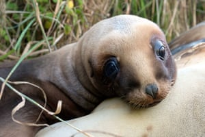 New Zealand's sea lions are one of the rarest and most threatened sea lions in the world. In 1993, a single female nicknamed 'Mum' recolonised the mainland after being absent there for the last 100 years. Now most of the mainland population are her direct descendants.
