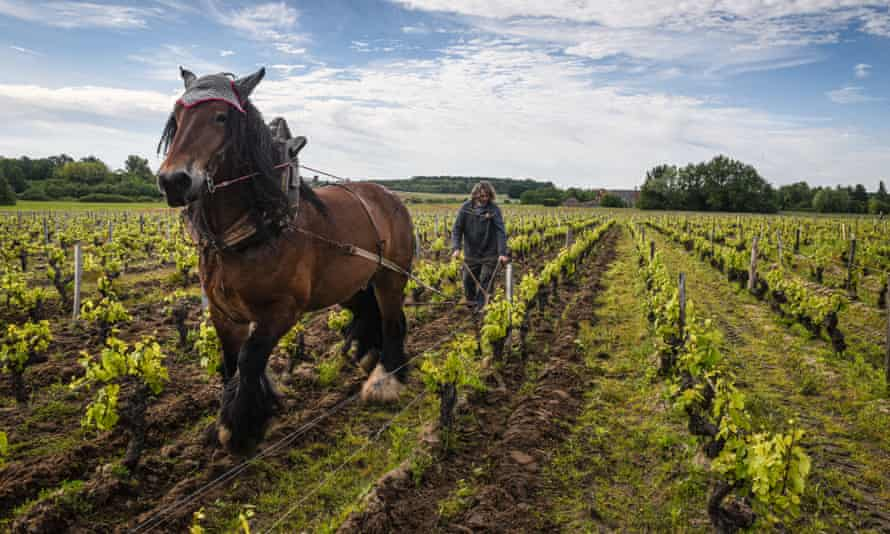 Jean-Pierre Dupont weeds the vines with his draught horse at the L'Affut estate in Solonge, France