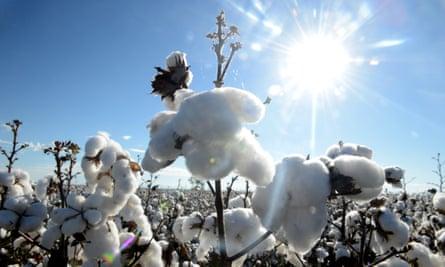 Cotton growing in a field.