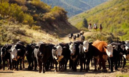 Cattle in western Colorado.