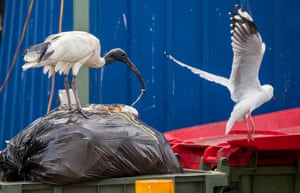 An ibis digs what looks like a noodle out of a rubbish bag, its body hunched over the refuse, as a seagull circles in to snatch that which it rejects. Little does it know: the ibis will reject nothing