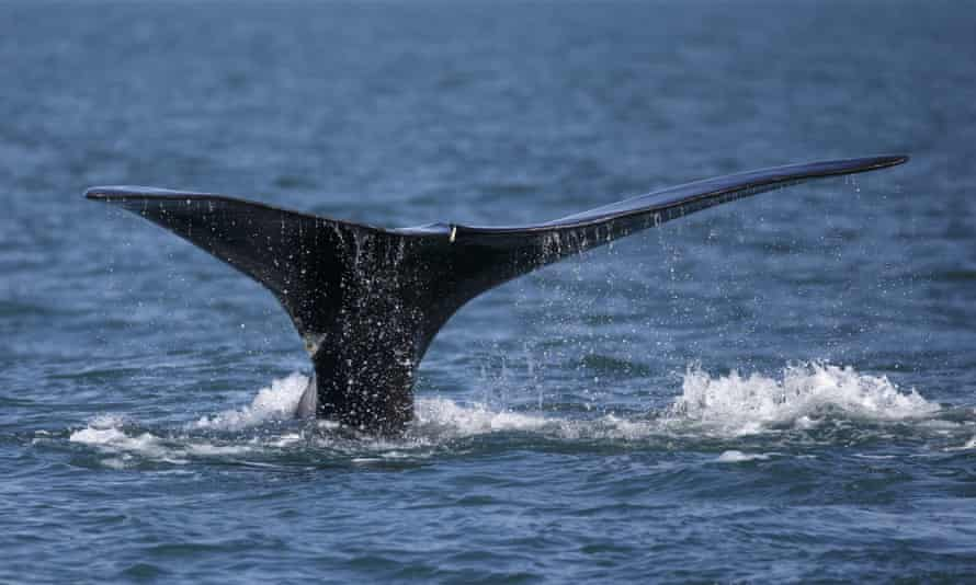 A North Atlantic right whale appears in Cape Cod bay off the coast of Plymouth, Massachusetts.
