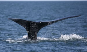 The endangered North Atlantic right whale, with only about 440 individuals left, could be particularly vulnerable the use of seismic air guns.