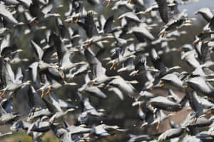 Bar-headed geese, which migrate from Tibet and central Asia during winter, flock at Gharana wetland on the outskirts of Jammu, India