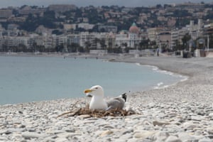 A seagull sits on a nest on a deserted beach in the French Riviera city of Nice, southern France on the 42nd day of lockdown in France.