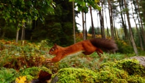 A red squirrel darting along in Kielder Forest, Northumberland.