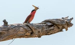 Carmine bee eater with captured locust in the Okavango delta.