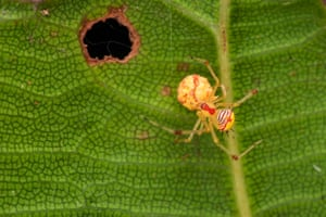 A spider on a leaf in west Borneo, Indonesia