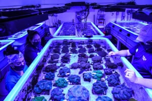 Rescued corals are kept in a tank at Florida Coral Rescue Center in Orlando