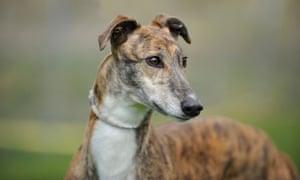 A retired racing greyhound