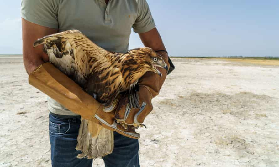 Vet Isa Agit prepares to free a rescued long-legged buzzard on the dried-up bed of Lake Van, Turkey 2021