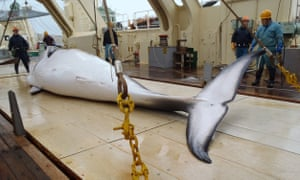 Minke whale on Japanese whaling ship
