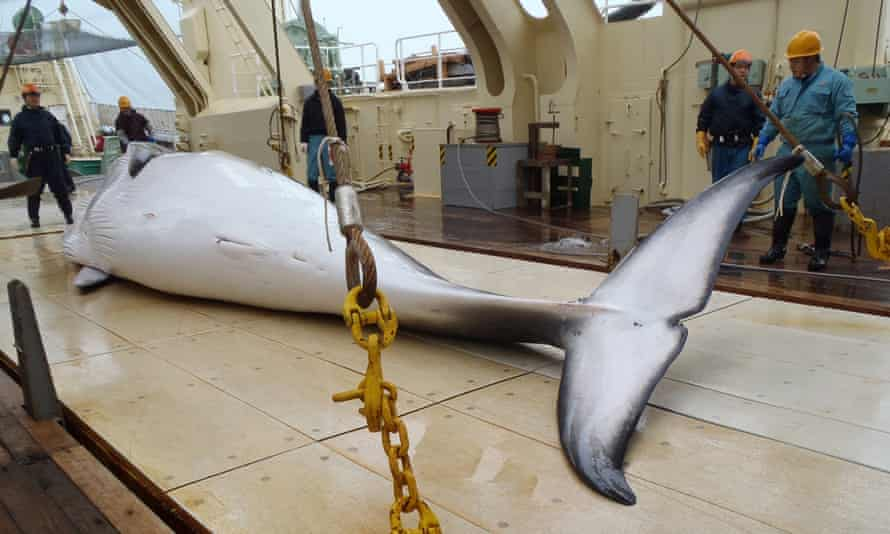A minke whale on the deck of a Japanese whaling ship in the Antarctic Ocean.
